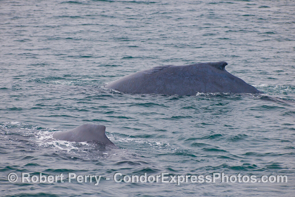 Twice as much hump - two Humpback Whales (Megaptera novaengliae) with dorsal fins showing.