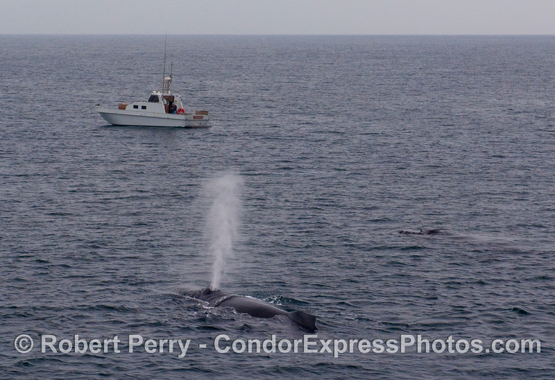 "The vessel ""Solara"" stands watch over two Humpback Whales (Megaptera novaengliae) in the Santa Barbara Channel."