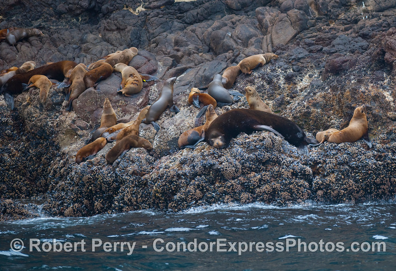 Resting on the volcanic rocky ledges of Santa Cruz Island...a young bull California Sea Lion (Zalophus californianus) and a bunch of females.  A female seen just to the left of center has been branded with large numbers and has yellow tracking tags on right and left flippers.