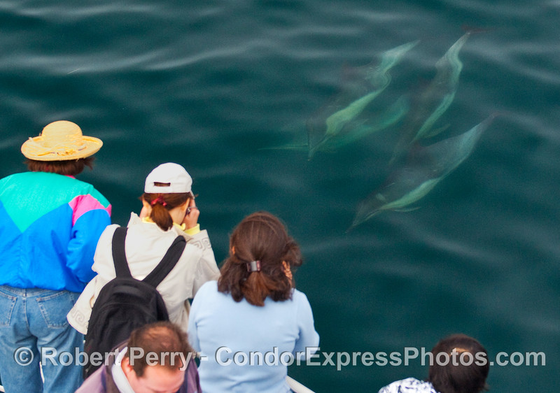 Four Common Dolphins (Delphinus capensis) visit the people.  Is that EZ's head?