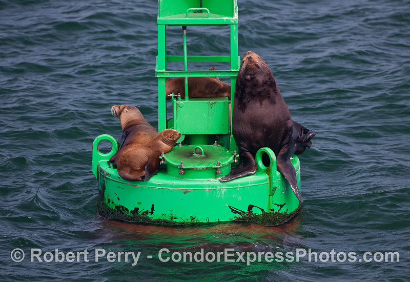 It is breeding season for California Sea Lions (Zalophus californianus), and young bulls that are not yet able to fight and hold beachfront property on the rookery will often leave the area.  Here we see a young bull on the Santa Barbara Harbor entrance buoy along with some females, sort of a mini-harem without the beach.  This may be the young bull that got its hind flippers caught between the buoy fittings and could not get back in the water.  So as the story was told, the kind Harbor Patrolman used a long wooden pole to try and dislodge the beast.  When the sea lion saw this pole, it turned around and with one quick bite, snapped the pole in half.  At least that's the story I heard.