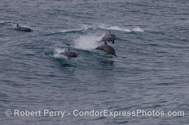 Wave-leaping Common Dolphins (Delphinus capensis).