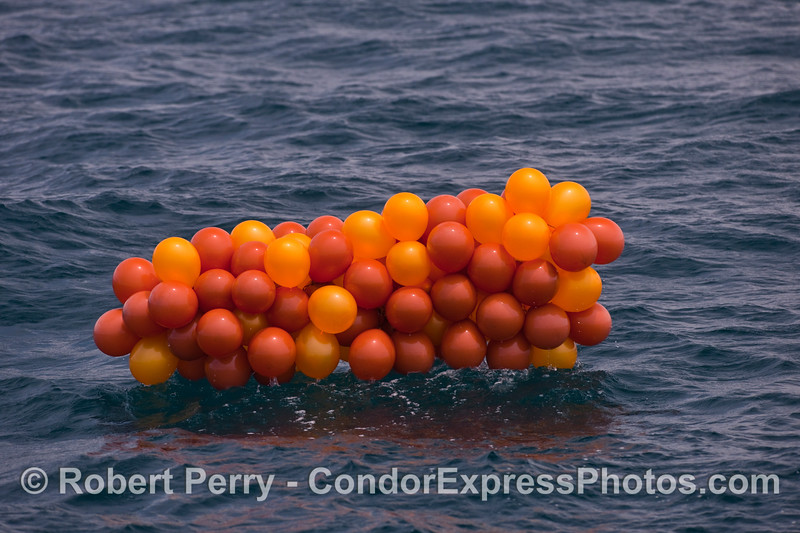 This orange mass of helium balloon plastic debris is my personal record for number of balloons in an open ocean debris cluster, yet.  I still think they look like giant crustacean eggs.