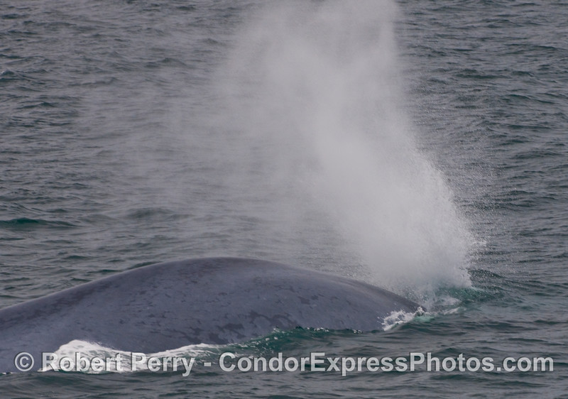 Another look - Image 1 of 2:  A strange Blue Whale (Balaenoptera musculus) behavior where this animal exhaled forcefully under the water as it began its terminal or deep dive.