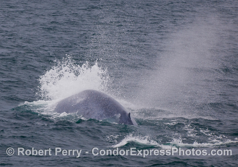 Image 2 of 2:  A strange Blue Whale (Balaenoptera musculus) behavior where this animal exhaled forcefully under the water as it began its terminal or deep dive.