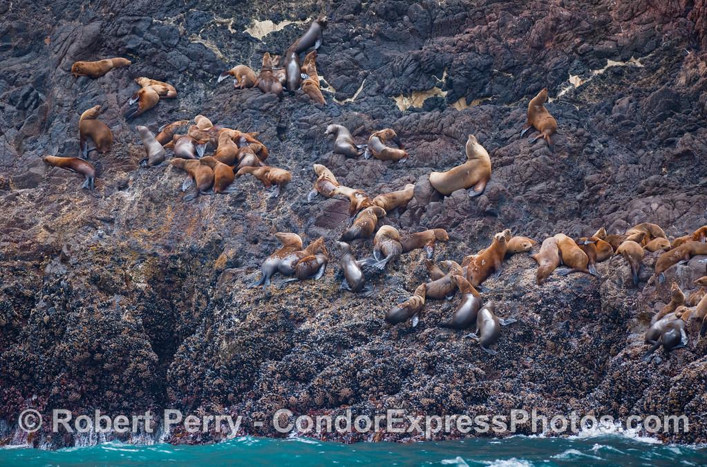 Group of young California Sea Lions (Zalophus californianus) climbing the cliffs near the West End of Santa Cruz Island.