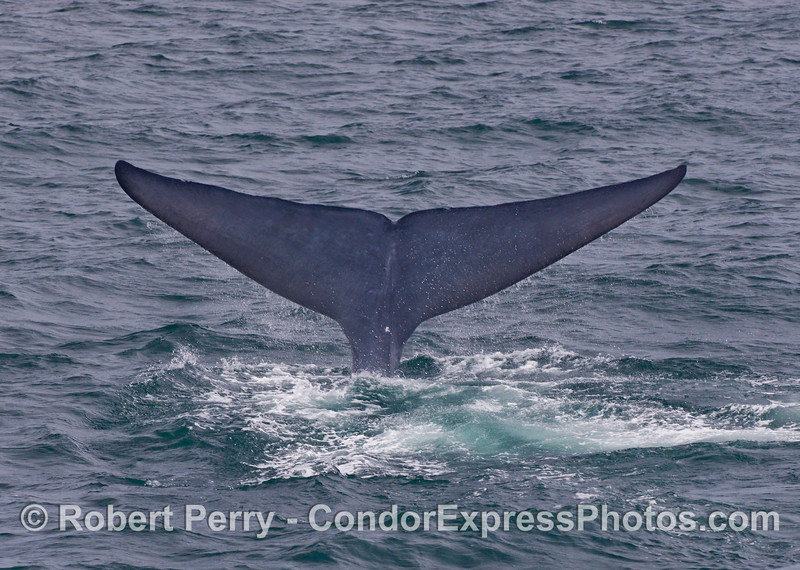 Blue Whale (Balaenoptera musculus) tail fluke sequence - image 3.