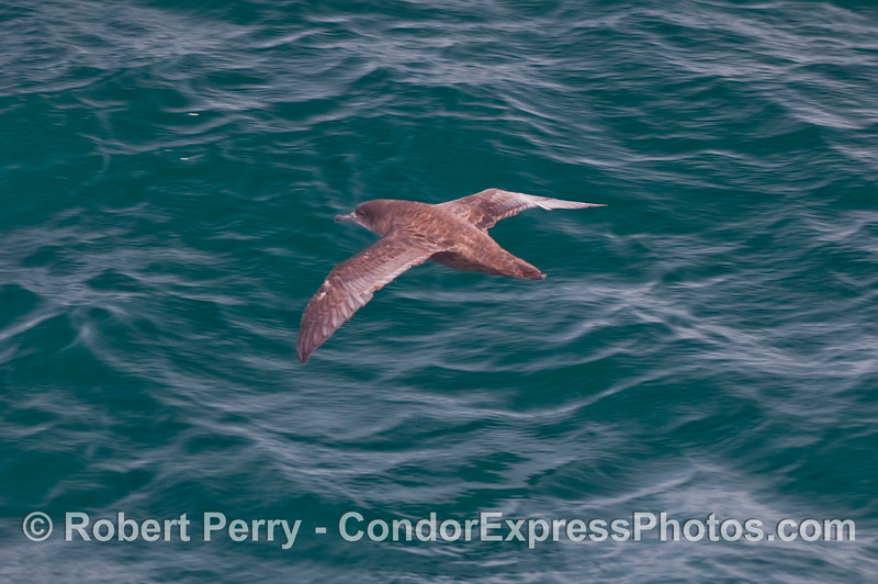 A Sooty Shearwater soars above the waves.  (Puffinus griseus).