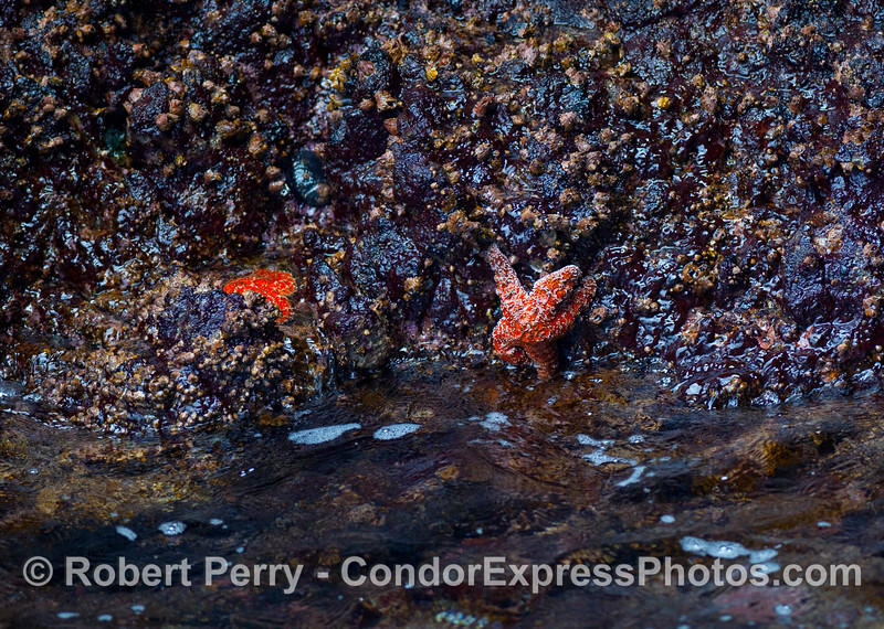 An orange colored Ochre Star (Pisaster ochraceus) clings to the barnacles, mussels and anemones on the rock walls of the Painted Cave of Santa Cruz Island.