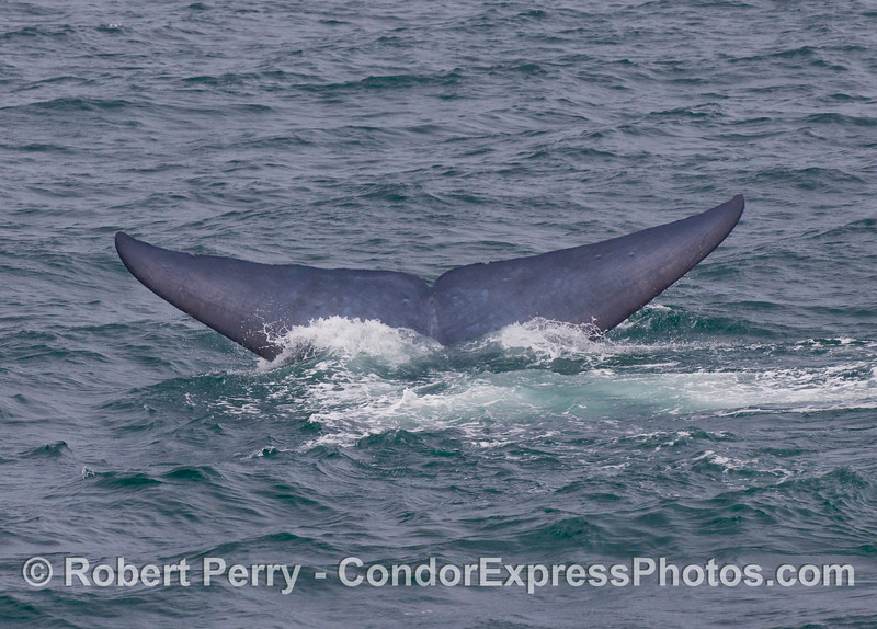 Blue Whale (Balaenoptera musculus) tail fluke sequence - image 4.