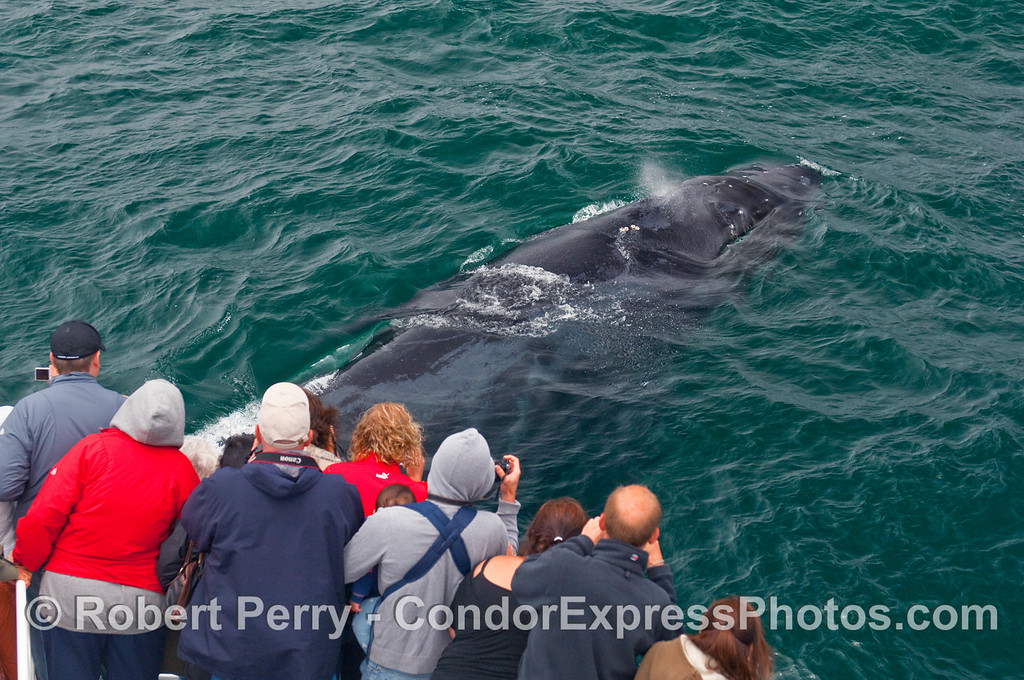Passengers on the Condor Express had a wild day.  We just left a couple of nice Blue Whales (Balaenoptera musculus) only to find extremely friendly Humpback Whales (Megaptera novaengliae).  Here a Humpback passes very close to the bow and passengers get a great up close look.  Fantastic!
