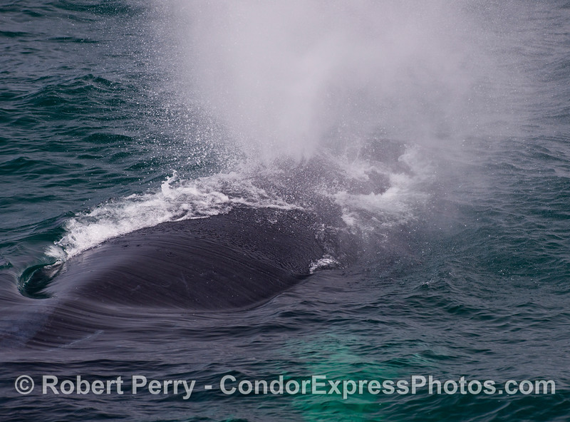 A mature Humpback Whale (Megaptera novaengliae) comes very close to the boat and sends up a big spout of water.
