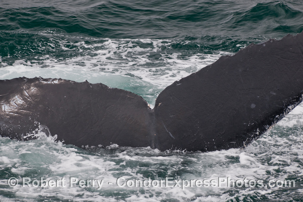 Humpback Whale (Megaptera novaengliae) tail sends this individual into the deep.