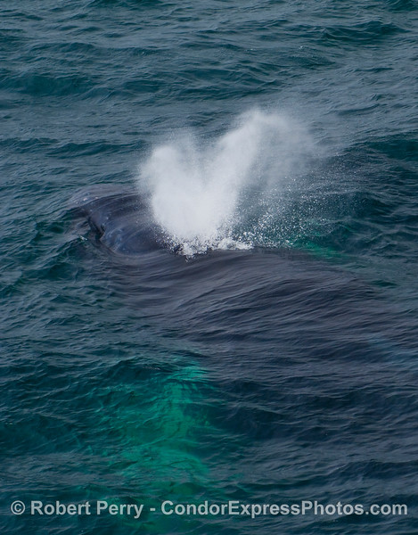 Here a Humpback Whale (Megaptera novaengliae) is still submerged below the surface of the ocean as it begins to spout.  Again the long white pectoral fins glow under the water.