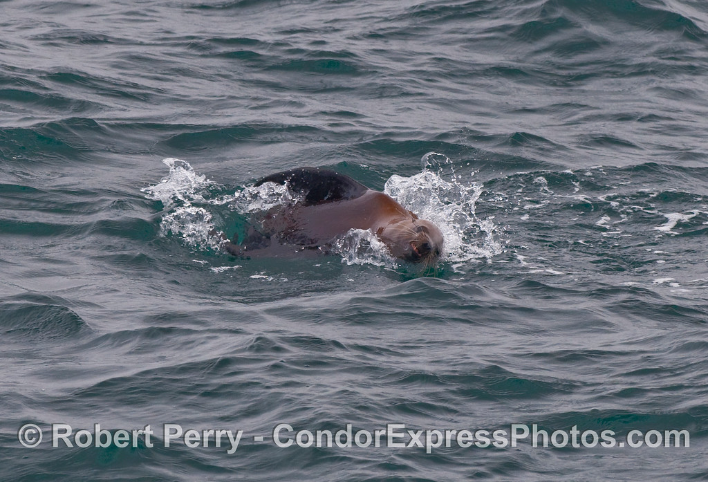 A California Sea Lion (Zalophus californianus) smiles for the whalers on the Condor Express.
