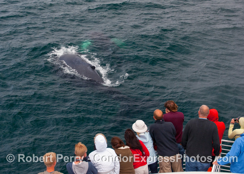 A cow-calf (mother & child) Humpback Whale (Megaptera novaengliae) pair.  Mom is on the surface and junior is visible to her right side under the surface.