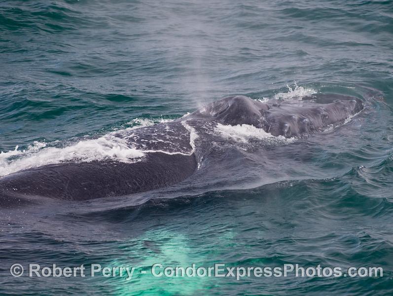 Knobby head and spout of a Humpback Whale (Megaptera novaengliae).