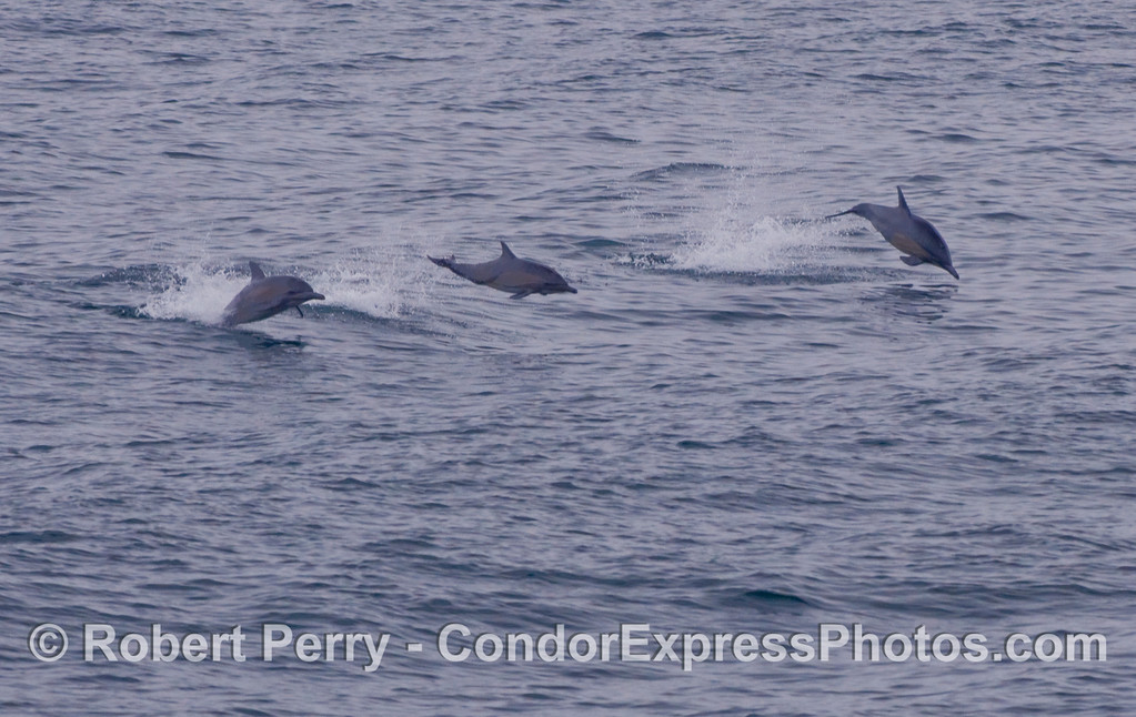 Three frisky Common Dolphins (Delphinus capensis) bound over the waves.