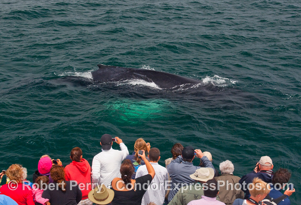 White pectoral fins glow under the water as this mature Humpback Whale (Megaptera novaengliae) dives directly in front of the whalers aboard the Condor Express.