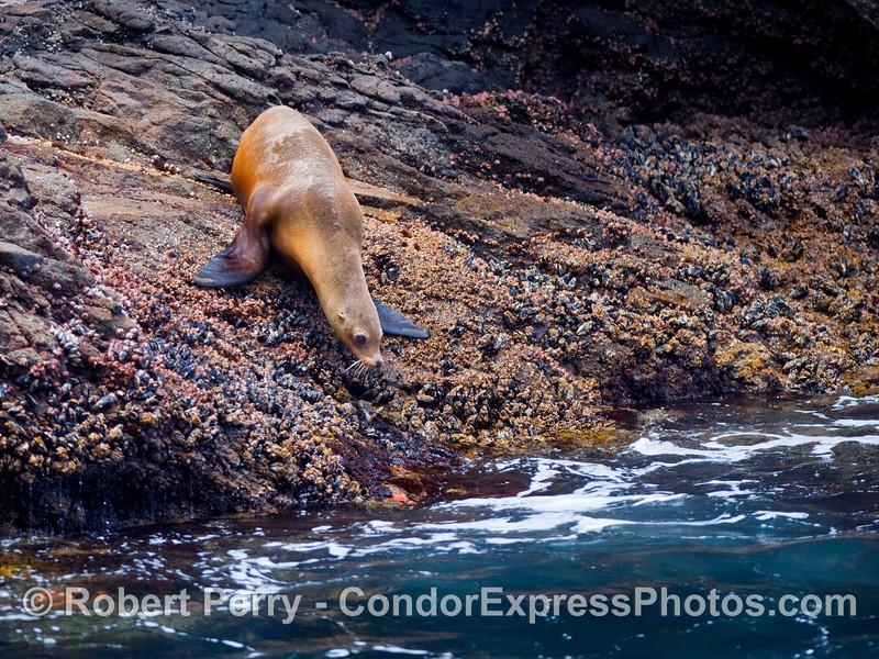 A California Sea Lion (Zalophus californianus) heads for the cool, clear waters of Santa Cruz Island.