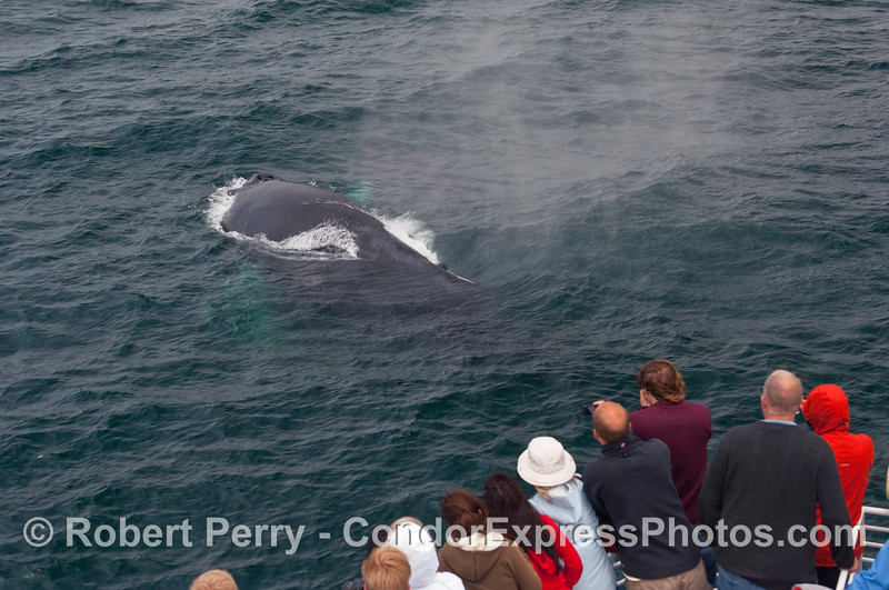 A mature Humpback Whale (Megaptera novaengliae) sends a cloud of rather pungent spray towards the whalers on the bow of the Condor Express.