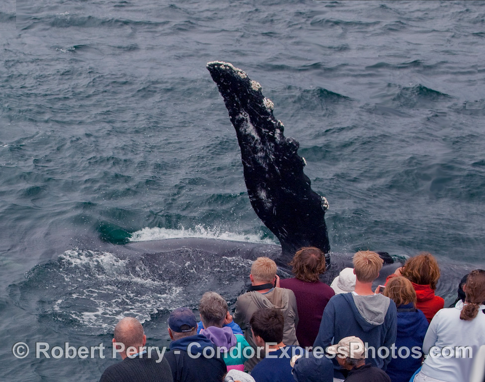 An extremely friendly Humpback Whale (Megaptera novaengliae) waves at the whalers on the bow of the Condor Express.