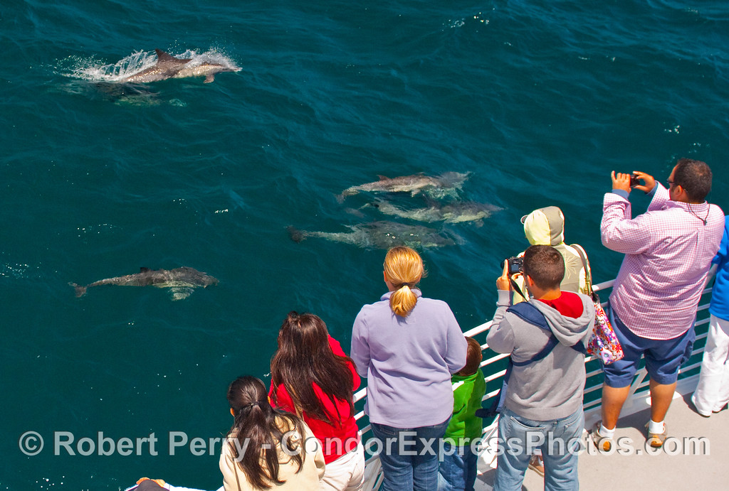 Whalers aboard the Condor Express get a visit by a friendly pod of Common Dolphins (Delphinus capensis).