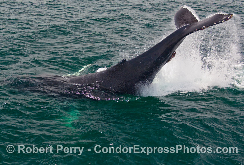 Image 1 of 2:  A young Humpback Whale (Megaptera novaengliae) came up alongside the Condor Express and did a mighty tail lob for us.