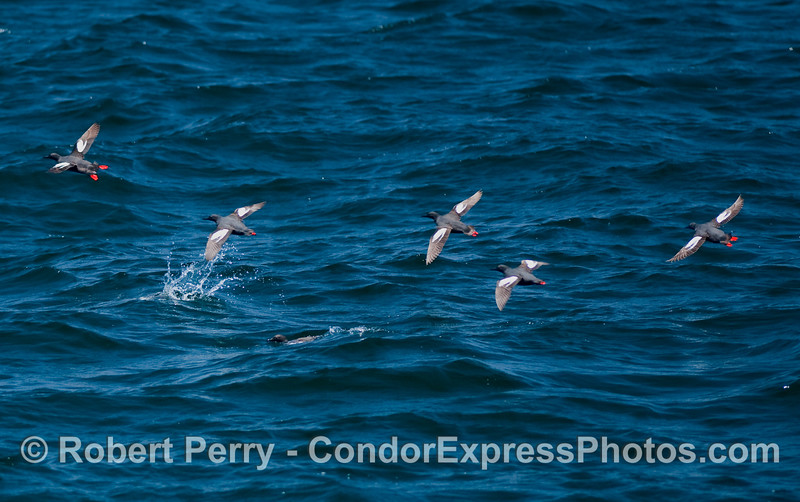 There are 7 Pigeon Guillemots (Cepphus columba) in this image if you count the one that just dove beneath the surface.