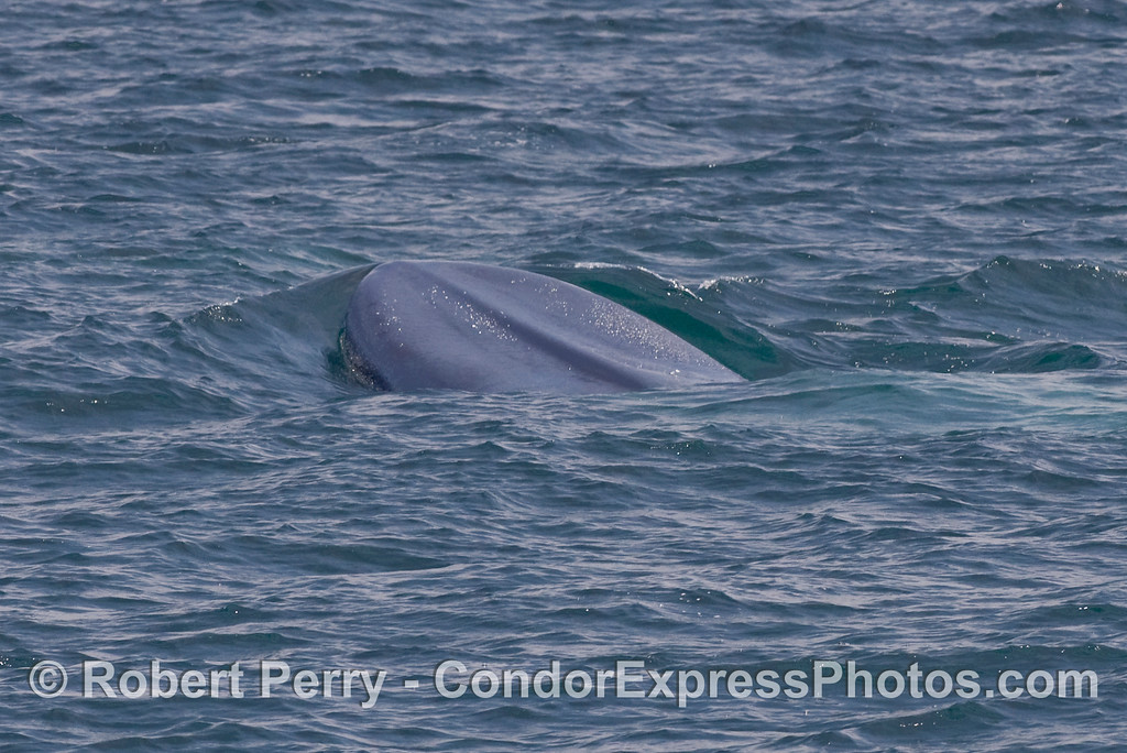 Head and lips of a giant Blue Whale (Balaenoptera musculus) rise to the surface.  Image 1 of 2.