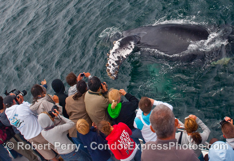 A young Humpback Whale (Megaptera novaengliae) tries to shake hands with the whalers on board the Condor Express.