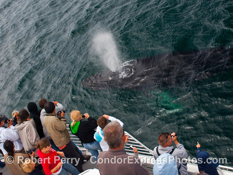 Whalers aboard the Condor Express have an encounter with a very friendly Humpback Whale (Megaptera novaengliae) that insisted on swimming all around the boat for about an hour.  Wow!