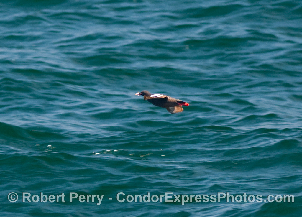 A solitary Pigeon Guillemot (Cepphus columba) returns to its roost on the island cliffs with a fish in its mouth.