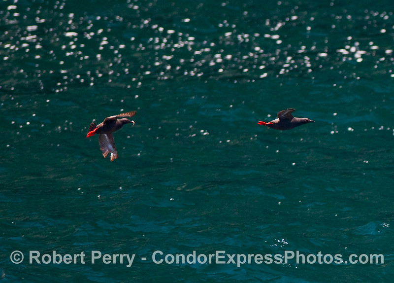 Two Pigeon Guillemots (Cepphus columba), one has a fish.