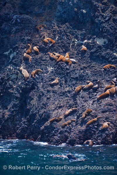 Young California Sea Lions (Zalophus californianus) climb high up the volcanic cliffs of Santa Cruz Island to rest in the sun.