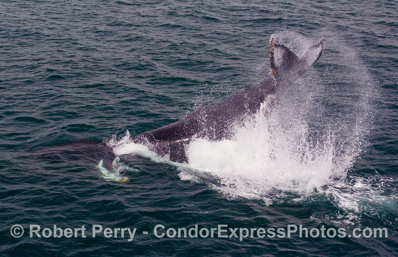 A second episode of lob-tailing from this frisky young Humpback Whale (Megaptera novaengliae) kicks up a lot of spray.