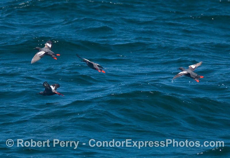 Four Pigeon Guillemots (Cepphus columba) in flight.