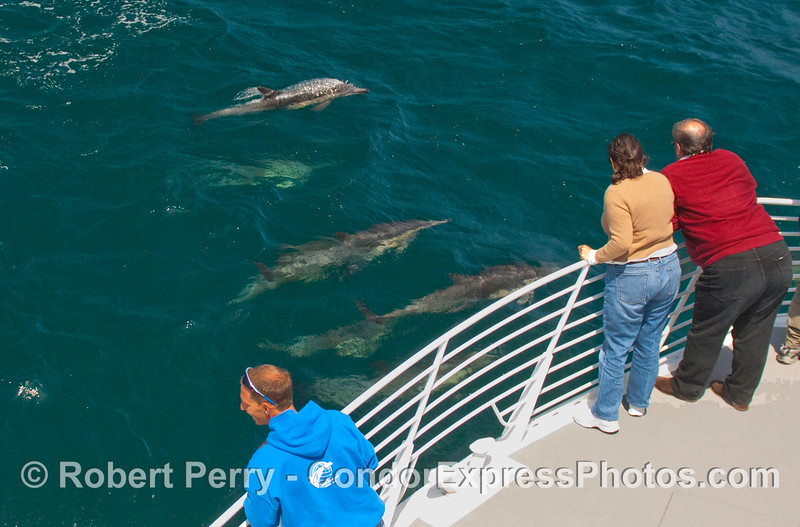 Common Dolphins (Delphinus capensis) come to see the whalers on the bow of the Condor Express.