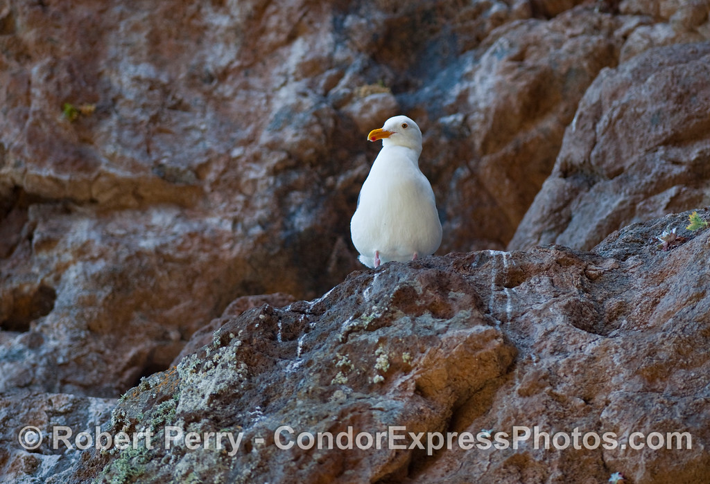 An adult Western Gull (Larus occidentalis) is perched on a rocky ledge overlooking the famous Painted Cave on Santa Cruz Island.