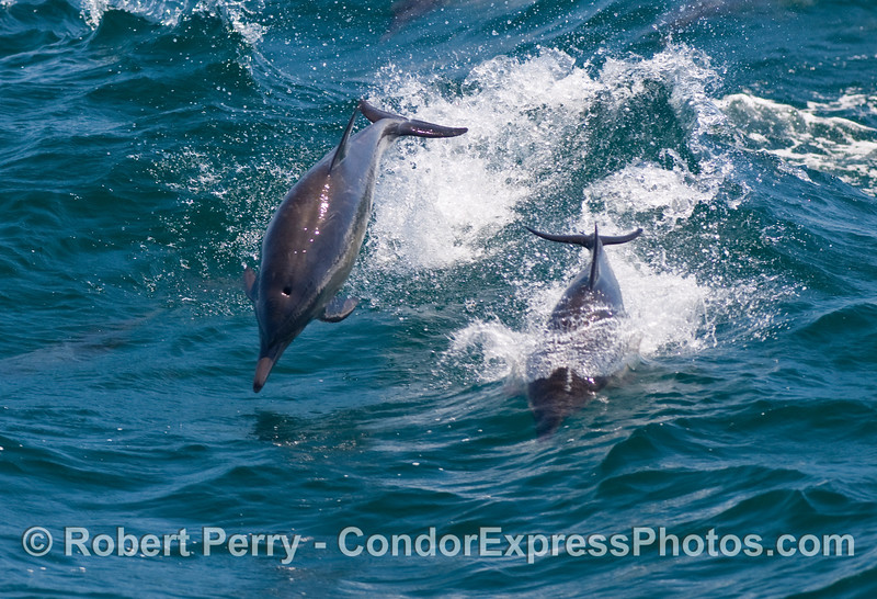 Here they come!  Leaping Common Dolphins (Delphinus capensis) head towards the Condor Express.