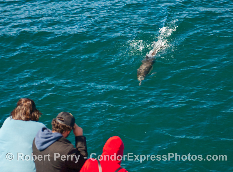 A Common Dolphin (Delphins capensis) rockets towards the Condor Express whalers.