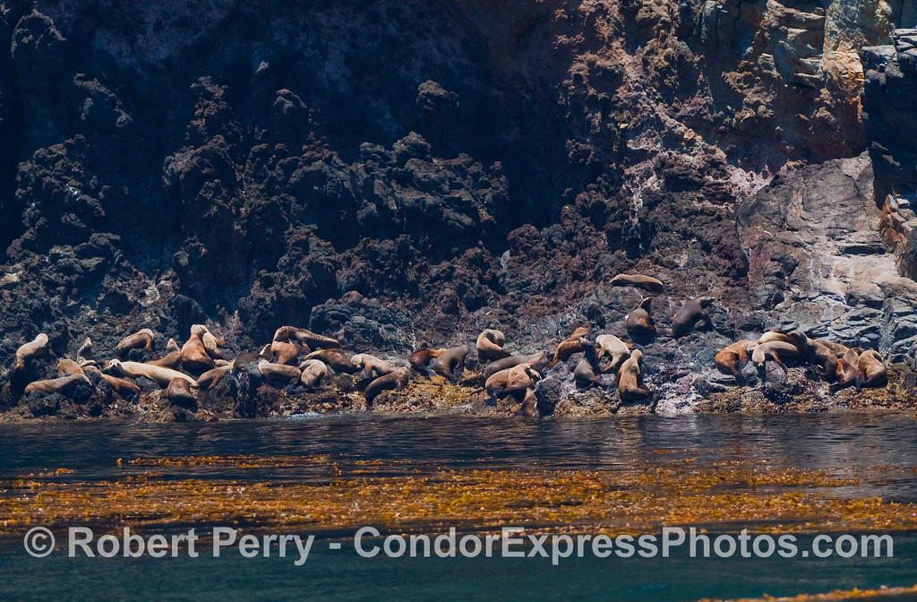 Soaking up the warm California summer sun...California Sea Lions (Zalophus californianus) on the rocks at Santa Cruz Island.  The canopy layer of a Giant Kelp bed (Macrocystis pyrifera) can be seen in the water.