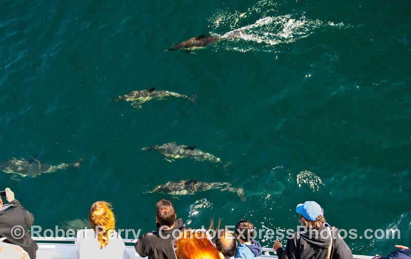 Whalers on board the Condor Express enjoy a friendly visit by this pod of Common Dolphins (Delphinus capensis).