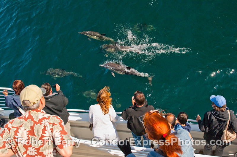 More friendly Common Dolphins (Delphinus capensis) thrill the whalers on the Condor Express.