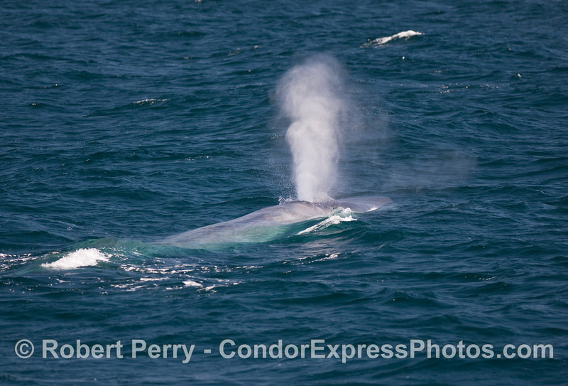 Beautiful tall Blue Whale spout (Balaenoptera musculus).