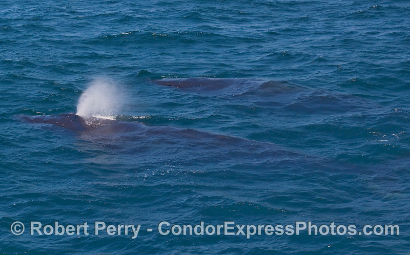 Two Humpback Whales (Megaptera novaengliae) side by side.  The upper animal is still just under the water.