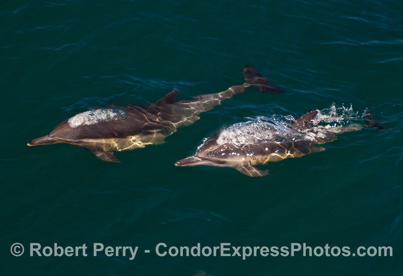 Two Common Dolphins (Delphinus capensis) emit bubbles on their way up to the surface.