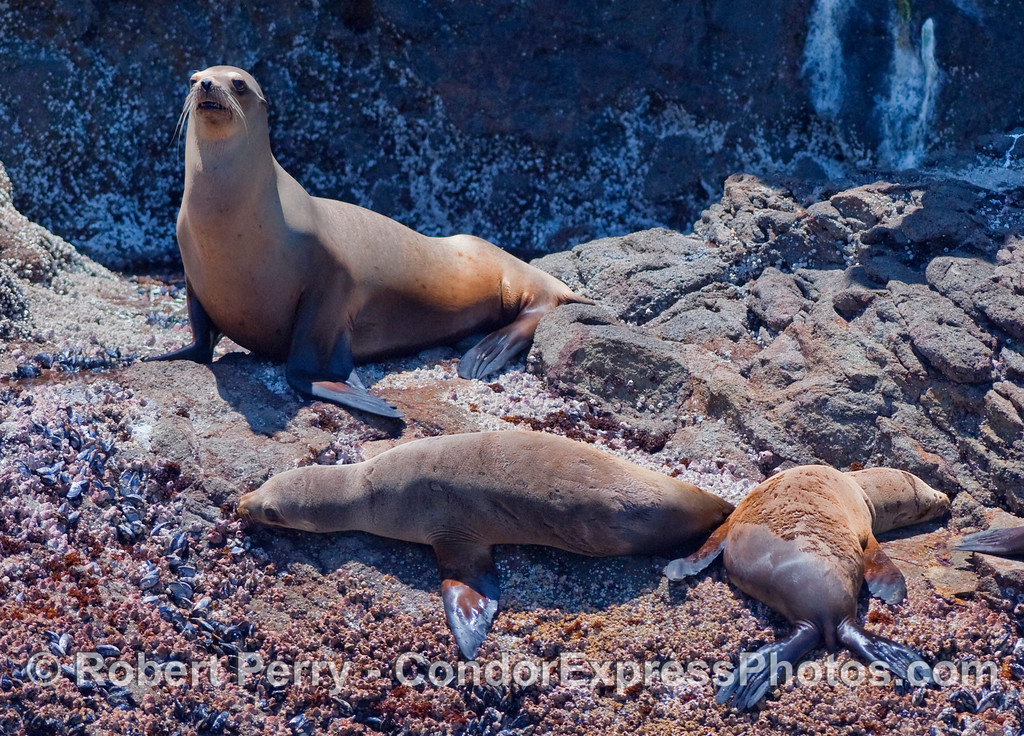 Three California Sea Lions (Zalophus californianus) resting on the rocky shore of Santa Cruz Island.  The animal to the right is moulting its fur.