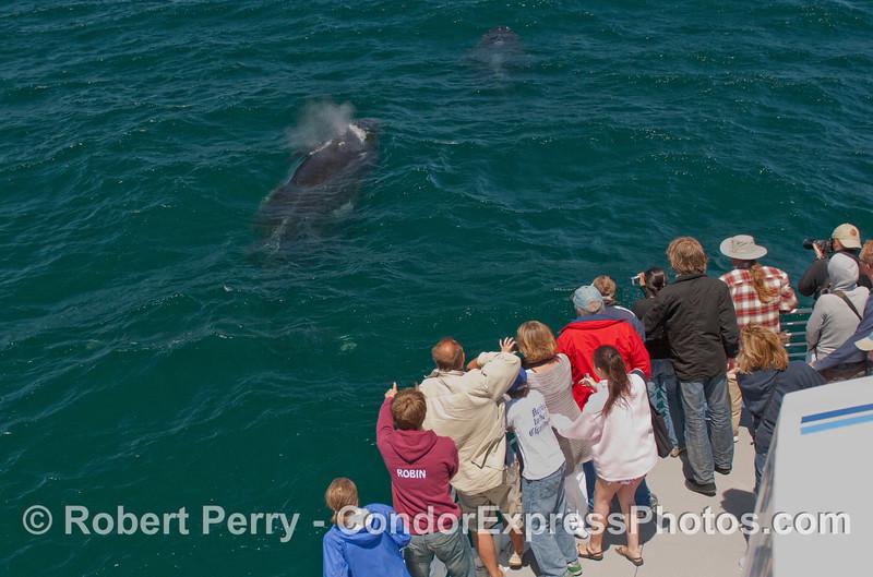 Two friendly Humpback Whales (Megaptera novaengliae) near the whalers.