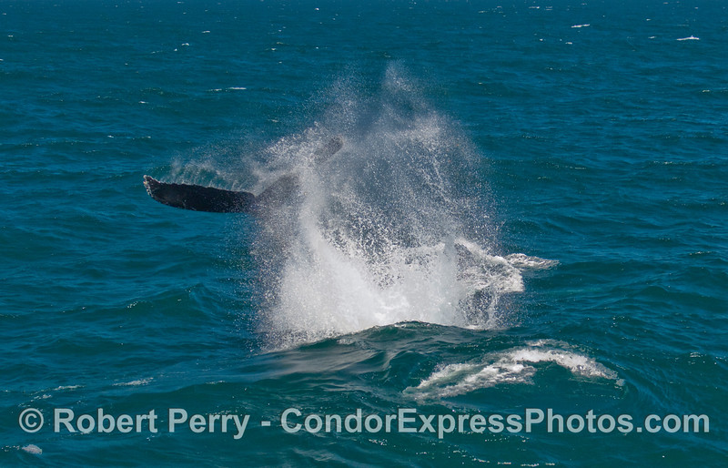 A second mighty tail throw from this adult Humpback Whale (Megaptera novaengliae)...just a few feet from the Condor Express.
